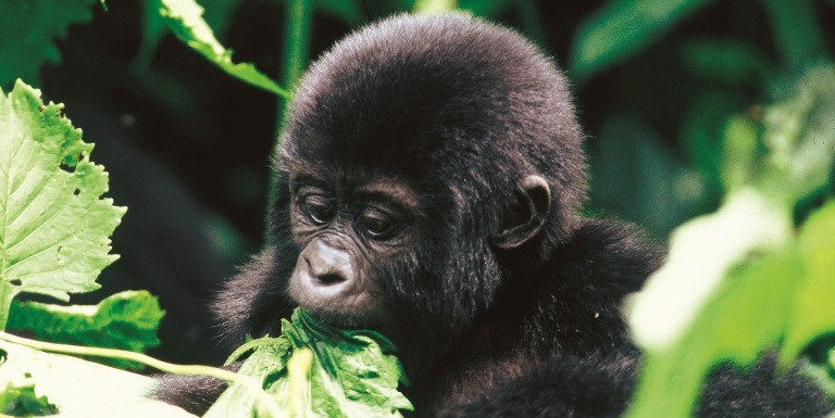 Sanctuary Gorilla Forest Camp is ideally located for gorilla trekking in Bwindi Impenetrable Forest in Uganda