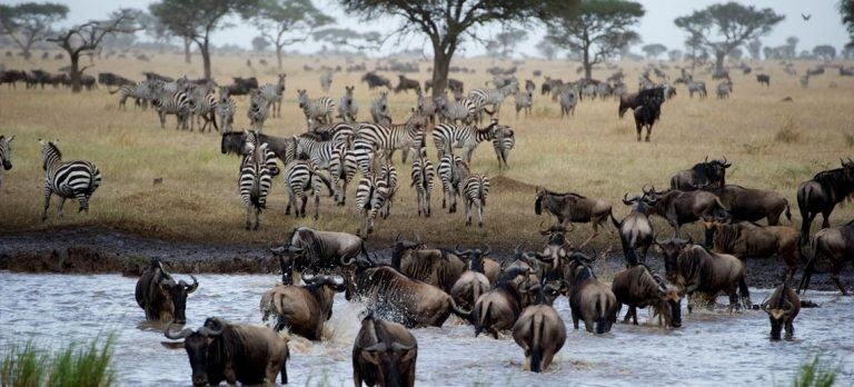Huge zebra and wildebeest herds as seen on a luxury safari at Singita Mara River Tented Camp in the northern Serengeti