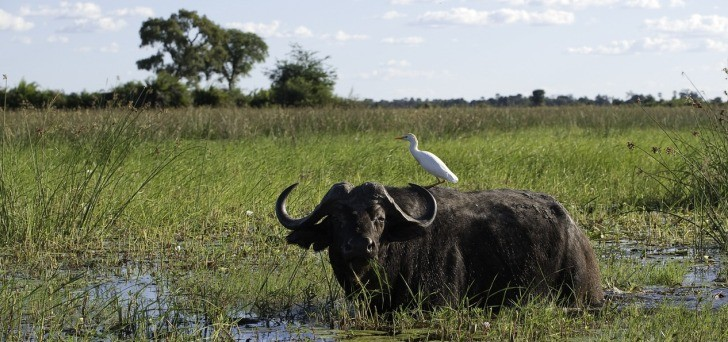 Game drives from Mombo camp delivers great buffalo sightings - photo courtesy Dana Allen
