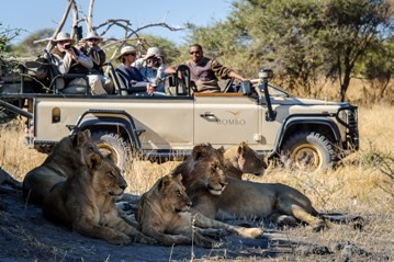Guests from Mombo and Little Mombo come to within meters of lion on their Okavango Delta game drive on Chief's Island in Moremi Game Reserve