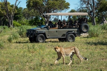A graceful cheetah is seen by guests on a game drive at Vumbura Plains camp in the Okavango Delta